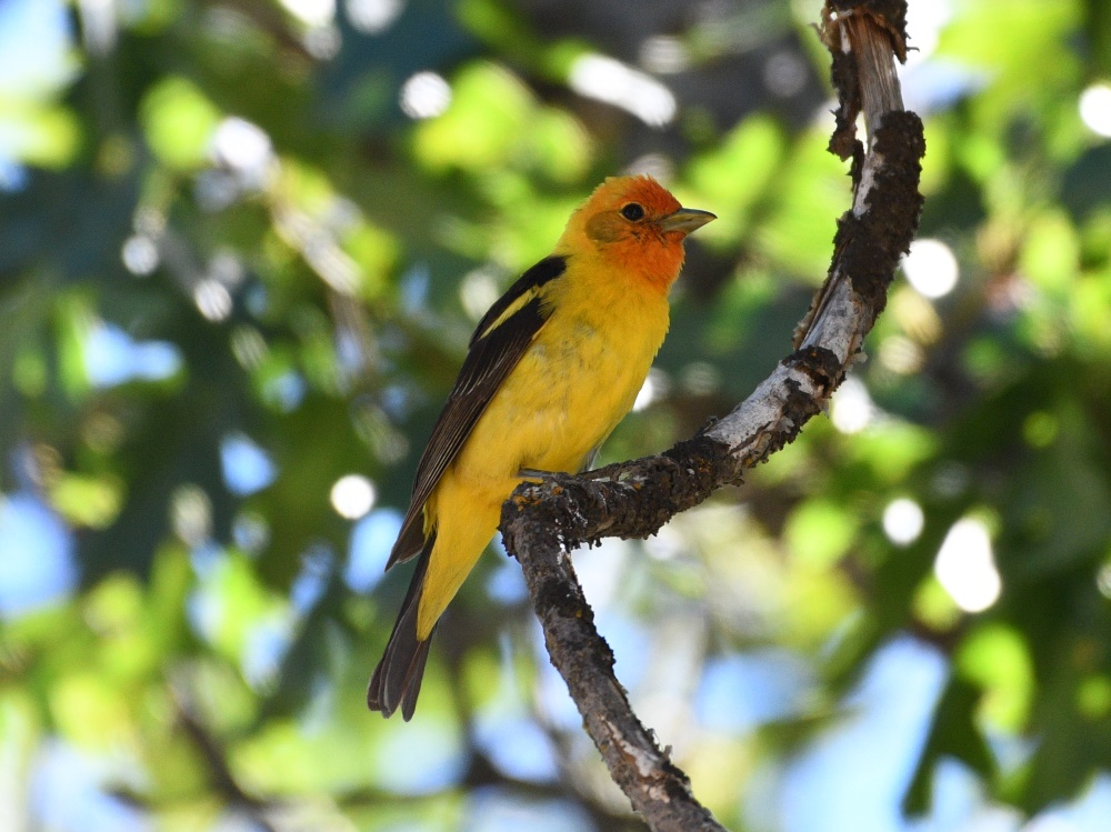 Western Tanager in the Greenhorn Mountains by Jacob Abel, 7/13/2019