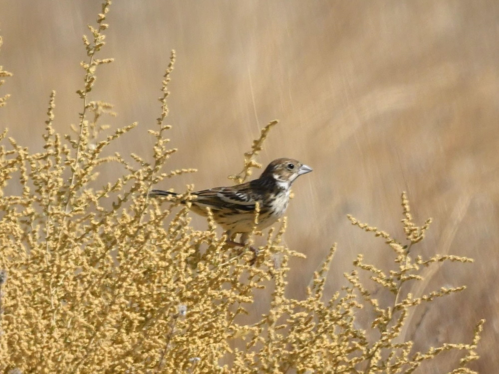 Lark Bunting at Panorama Vista Preserve by Andy Honig, 9/17/2019