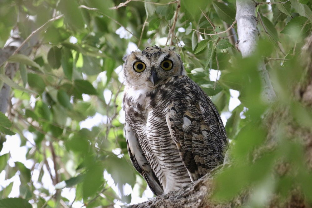 A juvenile Great-horned Owl by Mickey Dyke
