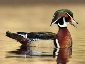 Kern Audubon Society Wood Duck