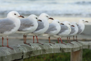 Red-billed Gulls. Brighton Beach, New Zealand.